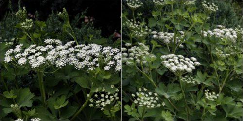 Hình ảnh hoa phòng phong
