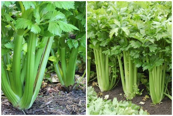Rau cần tây thường sống trên cạn.