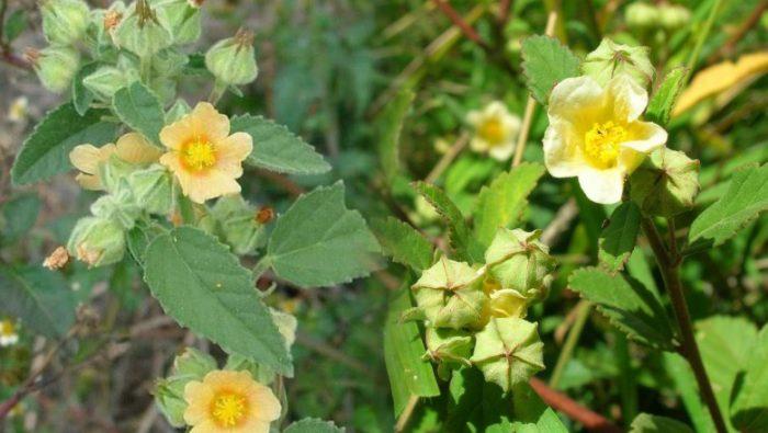 Tác dụng chữa bệnh và cách dùng của cây bạch bối hoàng hoa nhâm