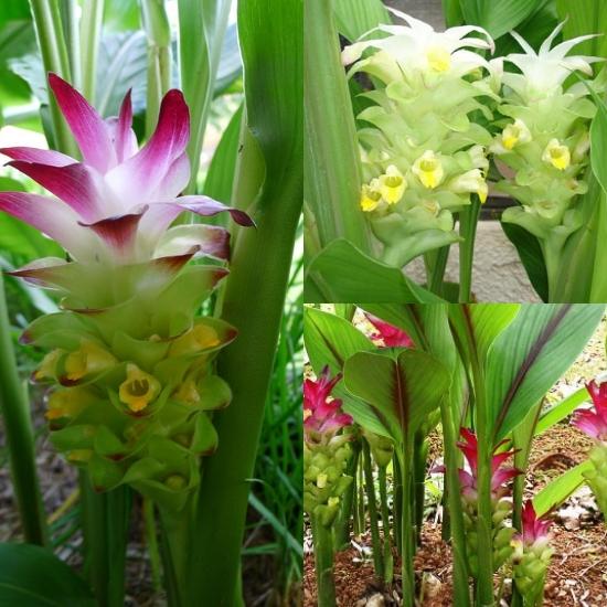 Hoa nghệ có màu trắng hoặc tím hồng
