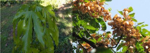 Hình ảnh lá an nam tử và hoa trong tự nhiên