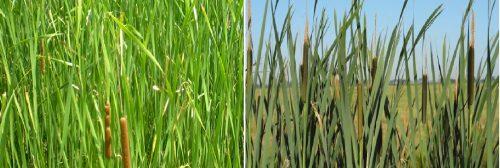 Bồ hoàng là cây thân thảo, tròn, lá dài và nhọn