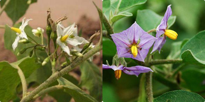 Hoa cà pháo có 2 màu là trắng và tím