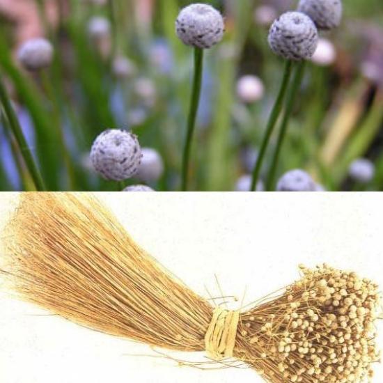 Thành phần dược chất cây cốc tinh thảo có khả năng chữa bệnh về mắt
