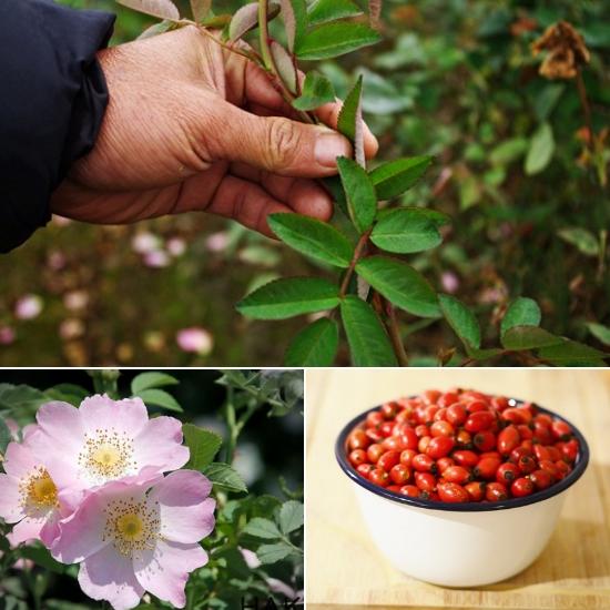 Tác dụng cây tầm xuân chữa bệnh gì được nhiều người quan tâm