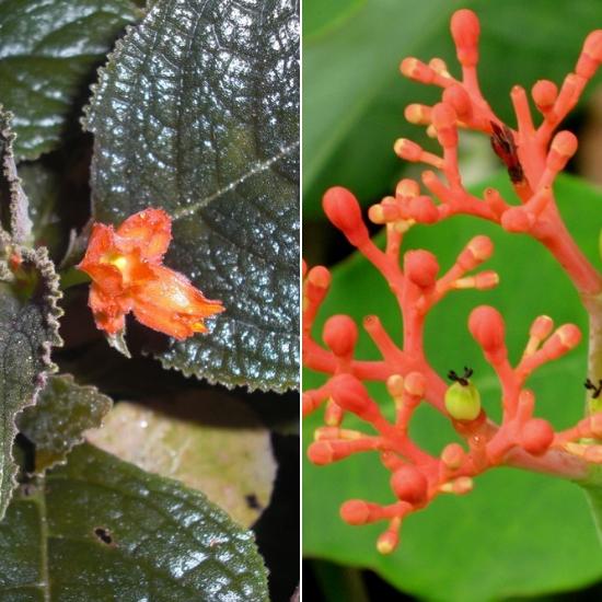 Hình ảnh hoa cây đỗ trọng