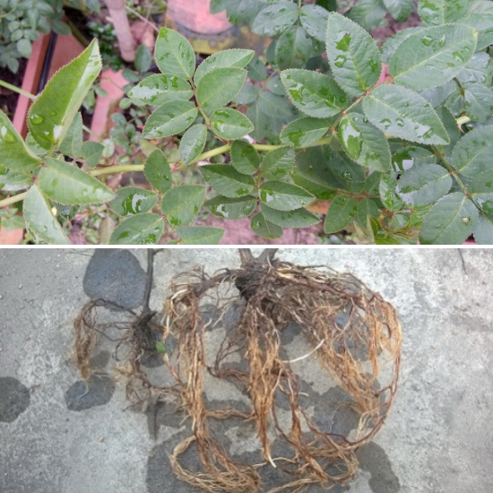 Công dụng của rễ cây tầm xuân được nhiều người quan tâm