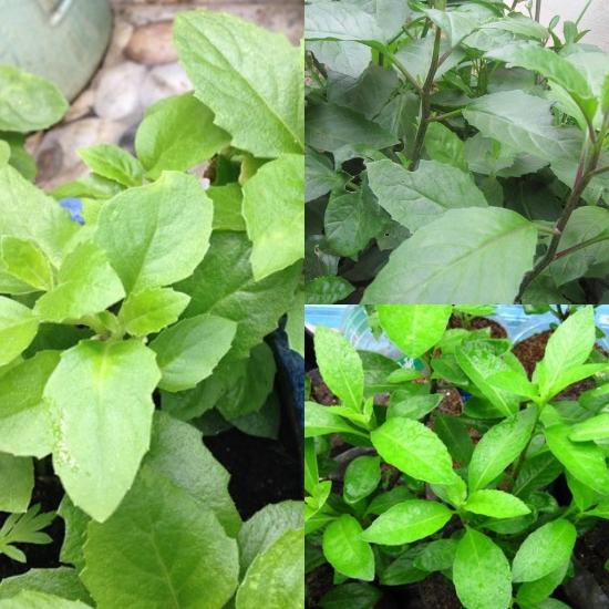 Hình ảnh cây bầu đất khi trồng tại nhà