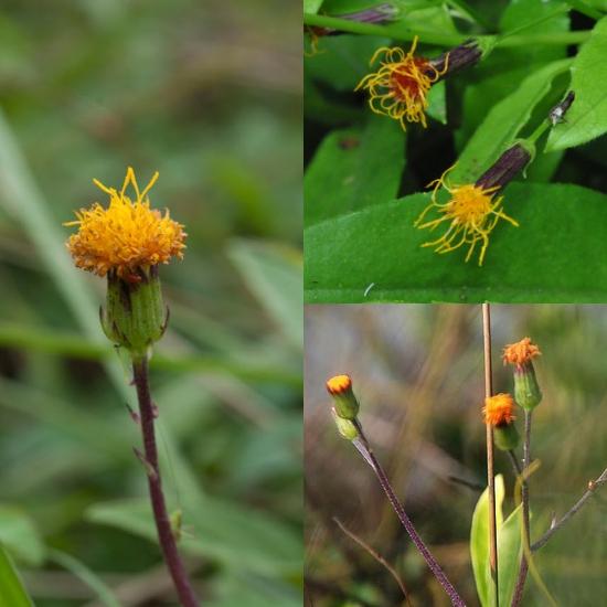 Hình ảnh hoa cây bầu đất