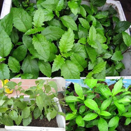 Cách trồng cây bầu đất đơn giản tại nhà
