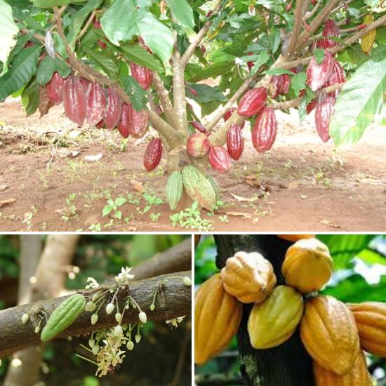 Cây ca cao được trồng nhiều ở Tây Nguyên