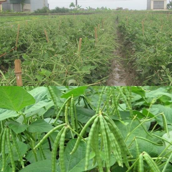 Cây đậu đen được trồng rất phổ biến