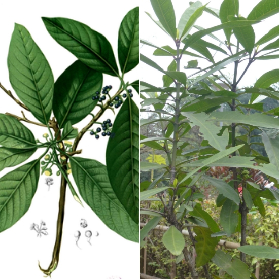 Đặc điểm của cây đơn trắng là giống cây gỗ lâu năm, thường mọc hoang ở đồi núi