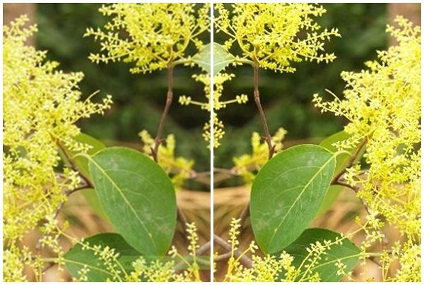 Hoa cây kha tử có màu vàng nhạt.