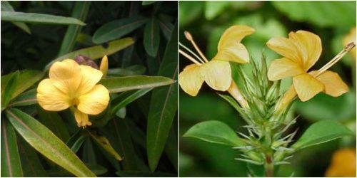 Hình ảnh hoa kim vàng
