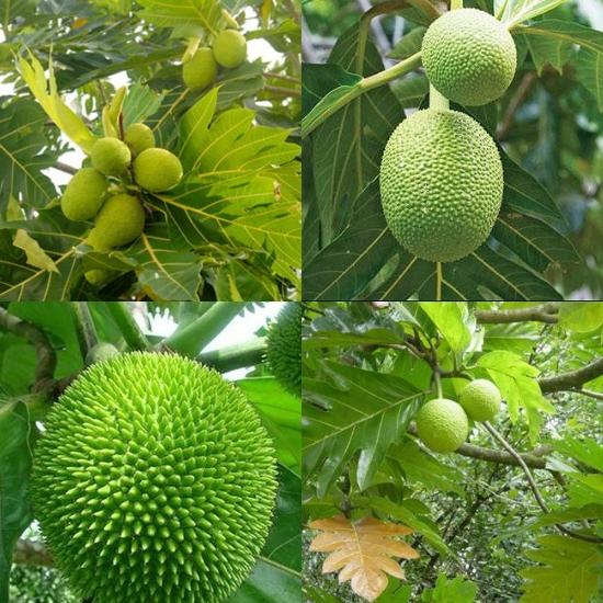 Hình ảnh cây sa kê