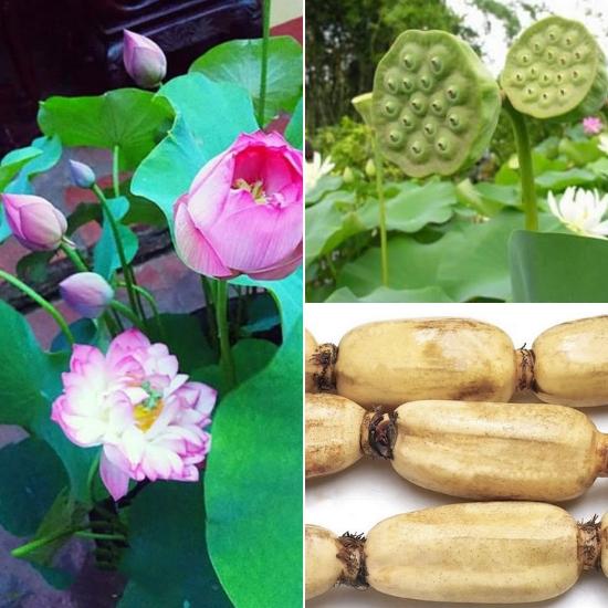 Cây sen thường được trồng để làm cảnh và thực phẩm