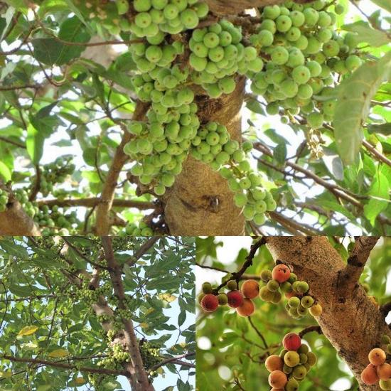 Hình ảnh cây sung