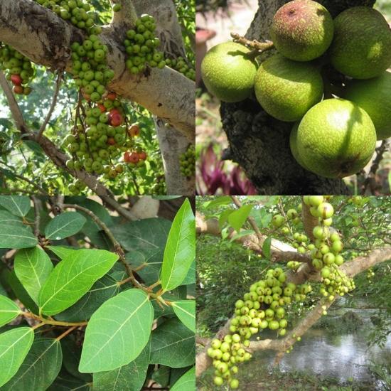 Hình ảnh cây sung trong tự nhiên