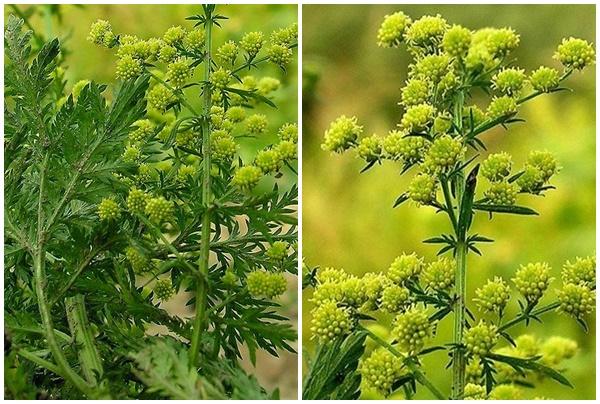 Hoa thanh hao mọc thành từng chùm khoảng 25 - 35 bông mỗi cành.