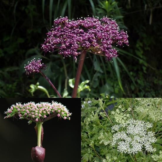 Hình ảnh cây tiền hồ hoa trắng và hoa tím