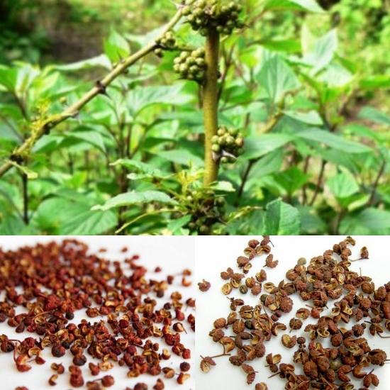 Tác dụng của cây xuyên tiêu trong điều trị rắn cắn, giảm đau, gây tê