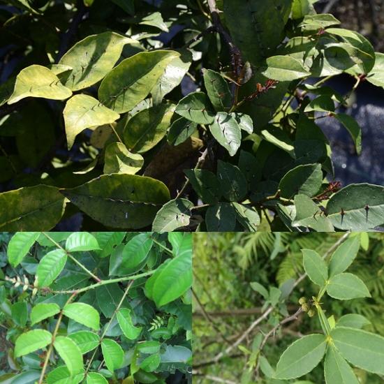 Hình ảnh lá cây xuyên tiêu
