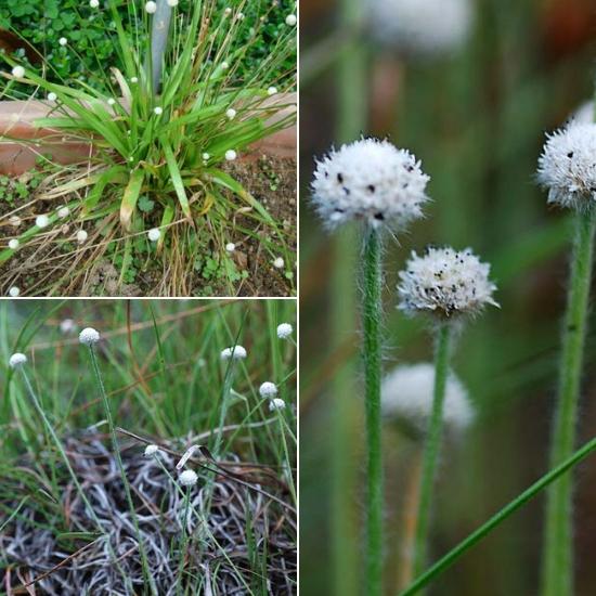 Hình ảnh cây cốc tinh thảo trong tự nhiên