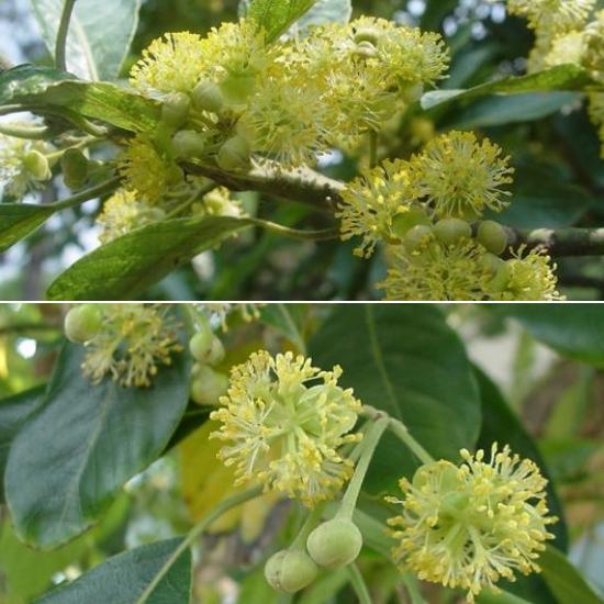 Công dụng của cây đơn trắng tốt nhất là chữa bệnh bạch đới