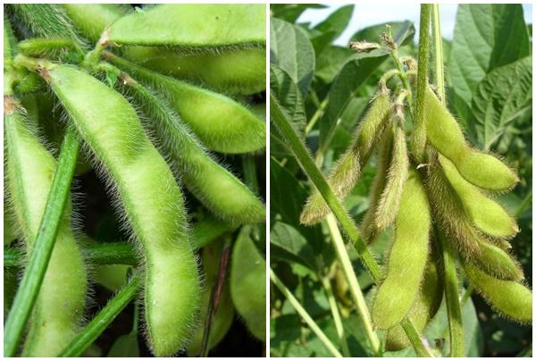 Tác dụng của hạt đậu tương và cách dùng đậu tương chữa bệnh gì