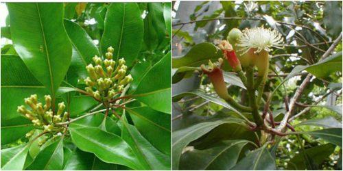 Tác dụng của cây đinh hương và cách dùng cây đinh hương ngâm rượu