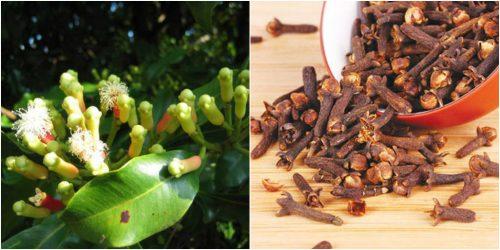 Nụ hoa đinh hương chứa nhiều dược chất có lợi, giúp chữa bệnh hiệu quả