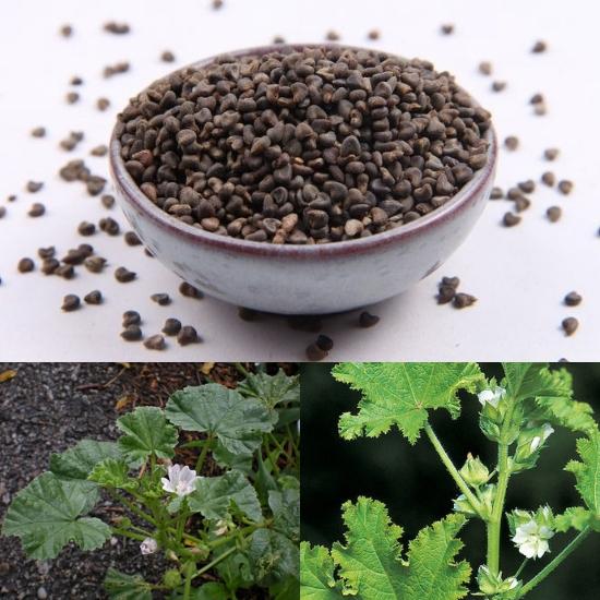 Tác dụng của cây đông quỳ tử trị bệnh lở loét, mụn nhọt, giải độc