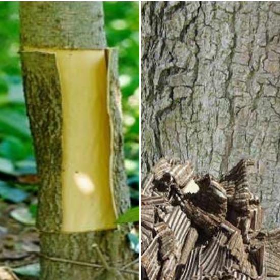 Vỏ cây đỗ trọng sau khi thu hoạch được bào chế làm thuốc