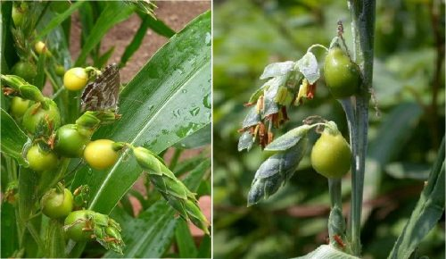Hình ảnh cây bo bo ngoài tự nhiên