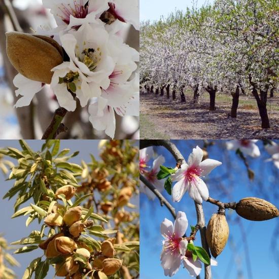 Hình ảnh hoa cây hạnh nhân