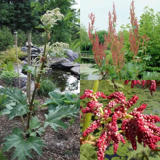 Cây đại hoàng thường có hoa màu trắng hoặc tím hồng