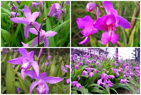 Hoa bạch cập có màu tím hồng bắt mắt.