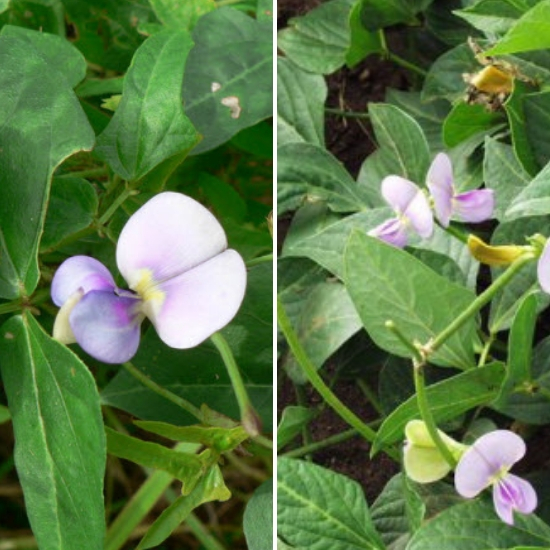 Hình ảnh hoa đậu đen khi nở