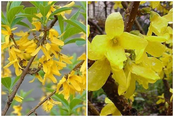 Hoa liên kiều có màu vàng bắt mắt.
