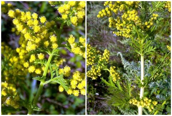 Hoa thanh hao có màu vàng.