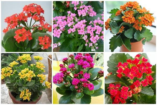 Hoa sống đời đa dạng màu sắc dùng làm cảnh trong nhà.
