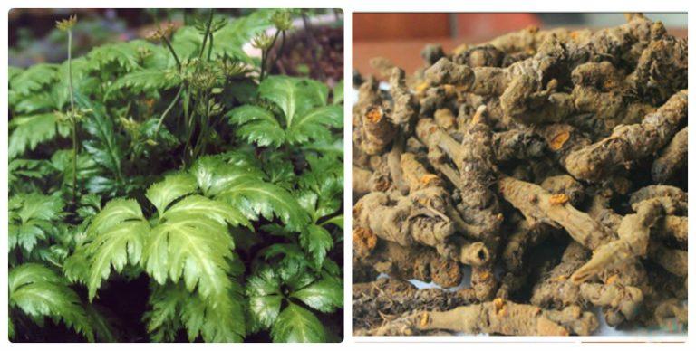 Tác dụng của cây hoàng liên chống nấm, có tác dụng với hệ tiêu hóa