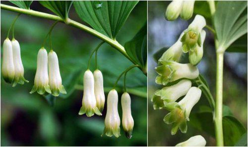 Hình ảnh hoa ngọc trúc