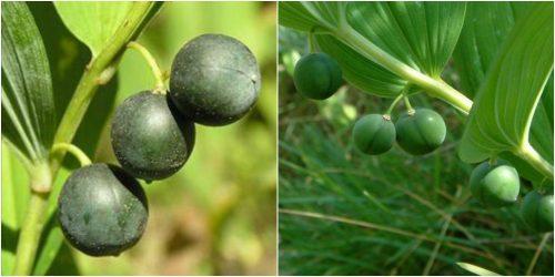 Hình ảnh quả của cây ngọc trúc
