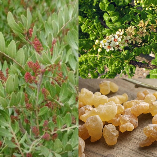 Hình ảnh cây nhũ hương