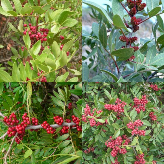 Hình ảnh cây nhũ hương trong tự nhiên