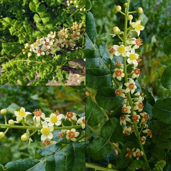 Hình ảnh hoa nhũ hương