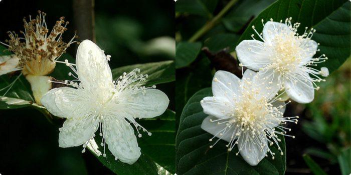 Hoa ổi có màu trắng, mùi thơm nhẹ dễ chịu