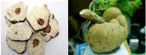 Phục thần là phần nấm có rễ thông xuyên qua (trái) và nấm phục linh (phải)